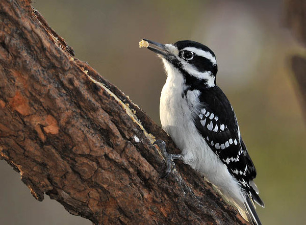 """<div class=""""jaDesc""""> <h4>Female Hairy Woodpecker with Suet - October 30, 2010 </h4> <p> This female Hairy Woodpecker is enjoying the suet that I smear on a length of locust trunk. She did not mind me being about 12 feet away from her.</p> </div>"""
