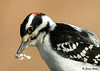 "<div class=""jaDesc""> <h4>Hairy Woodpecker Tenderizing Suet - March 25, 2009 </h4> <p> One of our male Hairy Woodpeckers grabbed a large chunk of suet, flew to a nearby perch, and then started thrashing it against the limb as if he was tenderizing it.</p> </div>"