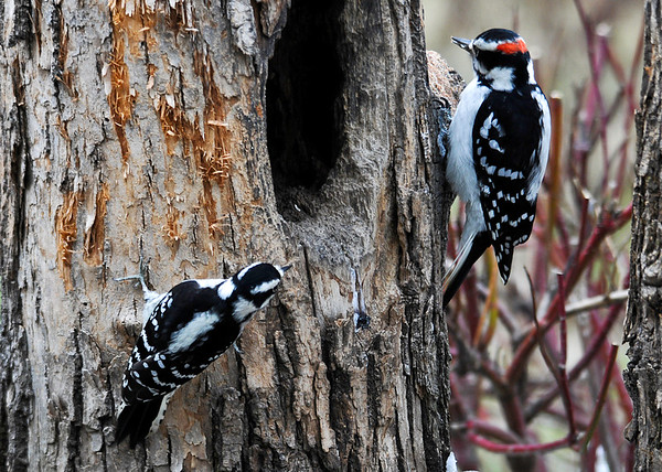 "<div class=""jaDesc""> <h4>Male Hairy and Female Downy Woodpeckers - November 16, 2014 </h4> <p>We have 2 pair of Hairy Woodpeckers and 2 pair of Downys that visit our feeders regularly.  However, it is very seldom I have an opportunity to get both species in the frame at once.  Hairy Woodpeckers  (upper right) are several inches taller than Downys.  Their markings are the same; males have the red cap.  Hairys always announce their arrival and departure while Downys are normally quiet.</p> </div>"