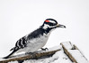 "<div class=""jaDesc""> <h4>Male Hairy Woodpecker Grabs Seed - March 3, 2017</h4> <p>In between chase sequences, each woodpecker would grab a sunflower seed and take it to a nearby tree to eat it.</p></div>"