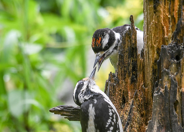 """<div class=""""jaDesc""""> <h4>Mom Delivers Another Suet Chunk - June 15, 2017</h4> <p></p></div>"""