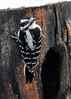 "<div class=""jaDesc""> <h4>Male Hairy Woodpecker Looks at Me - Feb 18, 2018</h4> <p>When he did finally move his head, he looked at me as if to ask ""is it OK now"".</p></div>"