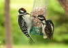 "<div class=""jaDesc""> <h4>Dad Hairy Woodpecker Teaching Son - June 29, 2011 </h4> <p> Dad Hairy Woodpecker on the right is showing his son (red patch on front of head) how to eat shelled peanuts. Dad would take a chunk of peanut and feed it to the youngster, then wait for him to try on his own. After 3 rounds of this, dad flew away to a nearby tree. The juvenile finally got a bite on his own.</p> </div>"