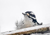 "<div class=""jaDesc""> <h4>Male Hairy Woodpecker Taking a Peek - March 3, 2017</h4> <p>This male Hairy Woodpecker is peaking over the seed tray to see if he can grab a seed before the other Hairy comes after him.</p></div>"