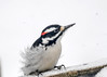 "<div class=""jaDesc""> <h4>Male Hairy Woodpecker Guarding Seed Tray - March 3, 2017</h4> <p>This male Hairy Woodpecker decided to stand guard over the seed tray for a bit, warning the other Hairy off as he tried to approach.</p></div>"