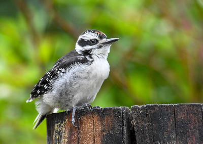 Hopeful Baby Male Hairy Woodpecker  - June 6, 2018 He kept flipping back and forth trying to figure out where his Mom was.  She would call to him to assure him she was getting food.