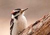 "<div class=""jaDesc""> <h4>Male Hairy - Chasing His Gal - March 5, 2012 </h4> <p> Our Hairy Woodpecker pair have started their Spring courtship routines. Here the male is chasing after the female as they move from tree to tree. Once in awhile they will rapidly circle a tree trunk chattering as they go. It is fun to watch.</p> </div>"
