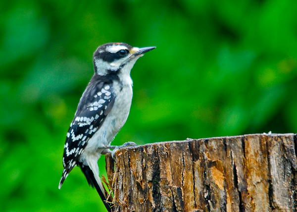 """<div class=""""jaDesc""""> <h4>Fledglng Male Hairy Woodpecker - July 13, 2014 </h4> <p>This young Hairy Woodpecker followed Dad into the suet log.  Notice the tiny bit of red on the head - a male.  I don't think he knew what was on the the menu.  He has already learned to steady himself with his tail.</p> </div>"""