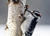 "<div class=""jaDesc""> <h4>Male Hairy Woodpecker at Birch Suet Log - January 11, 2017</h4> <p>I drilled 3 holes for suet in each side of this length of birch tree limb that was pruned, and hung it in our backyard.  The Woodpeckers, Chickadees, Blue Jays, and Starlings all love it.</p></div>"