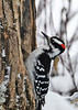"""<div class=""""jaDesc""""> <h4>Male Hairy Woodpecker on Tree Trunk - January 3, 2014 </h4> <p> My Christmas present to our woodpeckers was to install a section of an ash tree trunk that has a huge Pileated Woodpecker hole in it at one of the feeder stations. Every morning I smear bark butter suet inside the hole.  This is a male Hairy Woodpecker having a suet breakfast.  </p> </div>"""