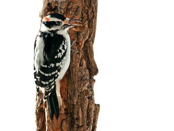 """<div class=""""jaDesc""""> <h4>1st Year Male Hairy Woodpecker Licking His """"Lips"""" - February 4, 2011 </h4> <p> This is the adult male Hairy Woodpecker who is starting to knock loudly on the trees across the road. Notice his red patch is larger and darker than the 1st year male (his son) in the next photo.</p> </div>"""