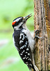 "<div class=""jaDesc""> <h4>Male Hairy Woodpecker Eating Bark Butter - August 30, 2013 </h4> <p> One of our male Hairy Woodpeckers stopped in for breakfast this morning.  He is dining on the bark butter I smear on this old stump.</p> </div>"