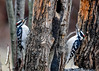 "<div class=""jaDesc""> <h4>Dueling Male Hairy Woodpeckers - January 14, 2017</h4> <p>It is that time of year when the male Hairy Woodpeckers start competing with each other at the suet logs. They are thinking ahead to courtship season coming up soon.</p></div>"