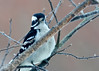 "<div class=""jaDesc""> <h4>Female Hairy Woodpecker in Cherry Tree - March 8, 2014 </h4> <p>The male and female Hairy Woodpeckers have started their mating ritual.  The male chases the female all around the yard.  When they land on the same tree, they circle it rapidly with the male cackling loudly as he follows her. </p> </div>"