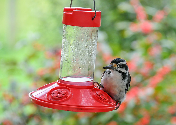 """<div class=""""jaDesc""""> <h4>Male Hairy Woodpecker at Hummingbird Feeder #3 - September 10, 2018</h4> <p>He hopped from the stick perch onto the feeder making it easier to balance while sipping.</p></div>"""