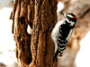 "<div class=""jaDesc""> <h4>Adult Male Hairy Woodpecker - February 11, 2011 </h4> <p> This is the adult male Hairy Woodpecker who is starting to knock loudly on the trees across the road. Notice his red patch is larger and darker than the 1st year male (his son) in the next photo.</p> </div>"