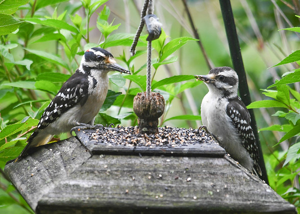 """<div class=""""jaDesc""""> <h4>Juvenile Female Hairy Woodpecker Waiting to Be Fed - July 29, 2016</h4> <p>I sprinkle finch mix on top of one of our feeders.  The Hairy Woodpeckers love the sunflower chips.  They both need to wipe their beaks when they are done.</p> </div>"""
