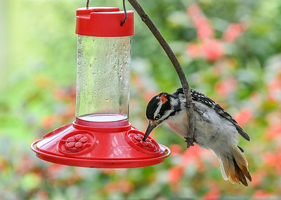 Male Hairy Woodpecker at Hummingbird Feeder #2 - September 10, 2018 From the hanging perch, the Hairy Woodpecker could easily reached down to the sugar water port and extend his tongue into the sugar water.