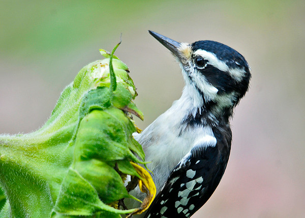 """<div class=""""jaDesc""""> <h4>Female Hairy Woodpecker on Sunflower Seedhead- August 23, 2014 </h4> <p>It is that time of year when some of the sunflowers are done blooming and the birds start enjoying pecking at the ripe seeds.</p> </div>"""