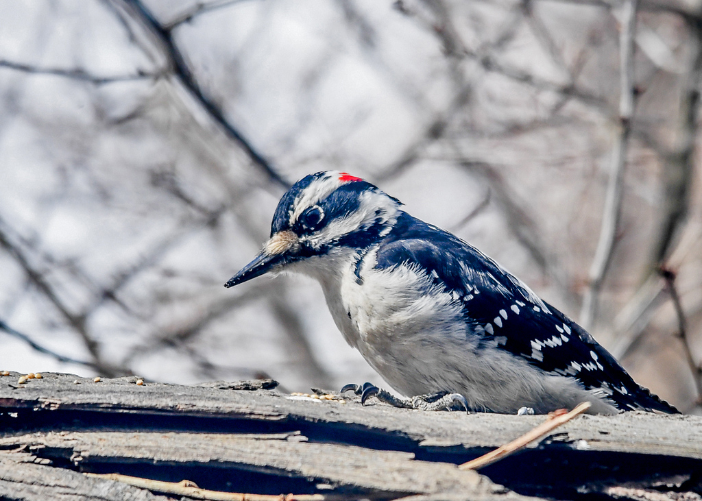 "<div class=""jaDesc""> <h4>Male Hairy Woodpecker Looking for Seeds - March 18, 2018</h4> <p>I laid a chunk of a shag bark hickory tree on its side and sprinkled seed on it.  The Hairy Woodpeckers love it.  They get to peck in and under the shaggy bark shingles looking for seed.</p></div>"