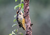 """<div class=""""jaDesc""""> <h4>Unique Juvenile Male Hairy Woodpecker - August 21, 2018</h4> <p>I have never seen a Hairy Woodpecker with yellow feathers anywhere but around the beak.  This young male has lots of yellow.  Will be interesting to see if it stays that way as he matures.</p></div>"""