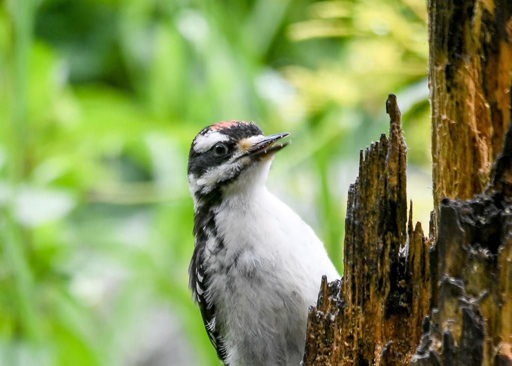 "<div class=""jaDesc""> <h4>Juvenile Hairy Woodpecker with Suet Bits on Beak - June 15, 2017</h4> <p></p></div>"