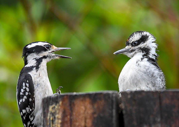 """<div class=""""jaDesc""""> <h4>Frustrated Baby Male Hairy Woodpecker - June 6, 2018</h4> <p>Turns out Mom has no intention of feeding him anymore.  Notice the suet on the left side of the log.  Mom is telling him he has to start getting his own.</p></div>"""