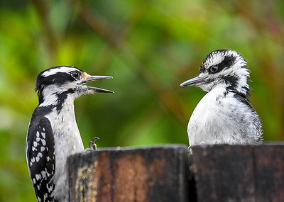 Frustrated Baby Male Hairy Woodpecker - June 6, 2018 Turns out Mom has no intention of feeding him anymore.  Notice the suet on the left side of the log.  Mom is telling him he has to start getting his own.