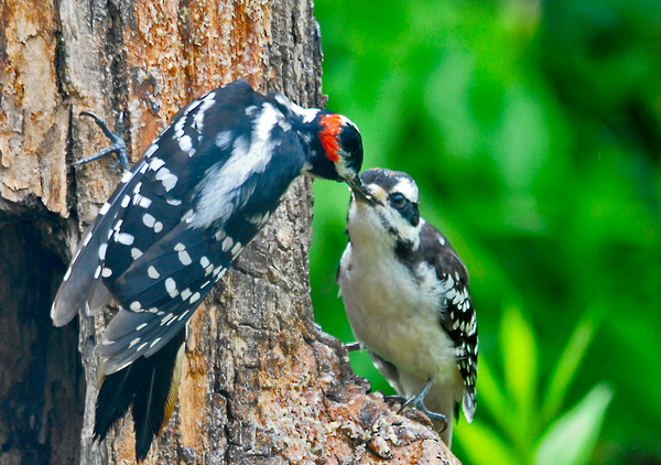 """<div class=""""jaDesc""""> <h4>Dad Hairy Woodpecker Feeding Son - July 13, 2014 </h4> <p>Dad Hairy fed the young male blobs of suet.  Within a few minutes the fledgling was eating the suet on his own. </p> </div>"""