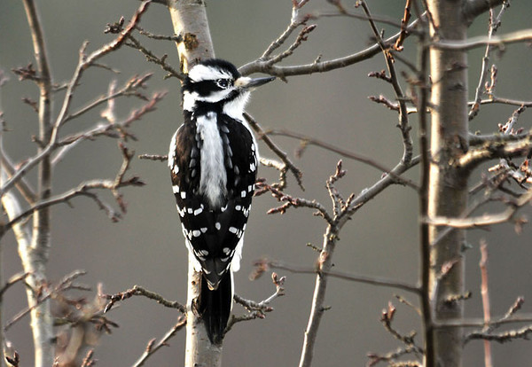 "<div class=""jaDesc""> <h4>Immature Female Hairy Woodpecker - October 30, 2010 </h4> <p> One of this year's Hairy Woodpecker offspring is this immature female. She usually comes in with her mom and waits her turn to get some suet.</p> </div>"