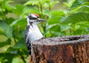 "<div class=""jaDesc""> <h4>Feisty Immature Male Hairy Woodpecker - July 30, 2016</h4> <p>This male juvenile Hairy Woodpecker does not allow the Blue Jays or Starlings to chase him; he holds his position at the feeder log.</p></div>"
