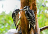 "<div class=""jaDesc""> <h4>Mom Hairy Woodpecker Feeding Daughter - July 29, 2016</h4> <p>Mom Hairy Woodpecker on left is feeding peanut butter suet to her daughter on an old pine tree serving as a suet log.</p> </div>"
