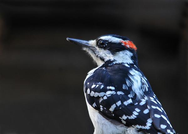 "<div class=""jaDesc""> <h4>Male Hairy Woodpecker Close-up - September 27, 2015 </h4> <p>This male Hairy Woodpecker was very cooperative at close range.</p> </div>"