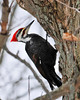 "<div class=""jaDesc""> <h4> Male Pileated Woodpecker Chopping Tree - January 1, 2013 - Video Attached</h4> <p> One of the highlights of our Christmas Bird Count outing today was seeing this male Pileated Woodpecker banging away at a tree trunk by the side of the road in Nichols, NY.  I could see the big chunks of wood flying as he diligently chiseled them off.</p> </div> </br> <center> <a href=""http://www.youtube.com/watch?v=R-NiCUdKU_M"" class=""lightbox""><img src=""http://d577165.u292.s-gohost.net/images/stories/video_thumb.jpg"" alt=""""/></a> </center>"