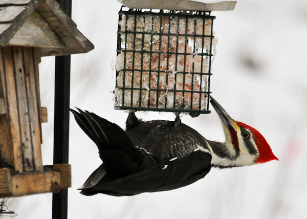 """<div class=""""jaDesc""""> <h4> Male Pileated Woodpecker Feasting on Raw Suet - January 1, 2013 - Video Attached</h4> <p> At the same location where I saw the Pine Warbler, this male Pileated Woodpecker was enjoying a long meal of raw suet.  He paid no attention to the Chickadees and Titmice visiting the seed feeder next to him.  He stayed for a good long ten minutes.</p> </div> <center> <a href=""""http://www.youtube.com/watch?v=W830qH3rLII"""" style=""""color: #0AC216"""" class=""""lightbox""""><strong> Play Video</strong></a> </center>"""