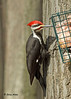 """<div class=""""jaDesc""""> <h4> Male Pileated Woodpecker at Suet - Video Attached -  March 27, 2009</h4> <p> The male Pileated Woodpecker was busily eating suet hung on a large tree trunk.   He did not seem to be aware of my presence in the blind 15 feet away.</p> </div> <center> <a href=""""http://www.youtube.com/watch?v=inM69aUj4_c"""" style=""""color: #0AC216"""" class=""""lightbox""""><strong> Play Video</strong></a> </center>"""
