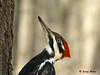 """<div class=""""jaDesc""""> <h4> Female Pileated Woodpecker Close-up - March 27, 2009 </h4> <p> This was the best shot I got of the female Pileated Woodpecker (no red on cheek) from my blind. She was on her way up a large tree after dining on suet.</p> </div>"""