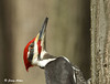 "<div class=""jaDesc""> <h4> Male Pileated Woodpecker Climbing Tree - March 27, 2009 </h4> <p> The male Pileated Woodpecker finished his meal of suet and headed back up the tree trunk.</p> </div>"