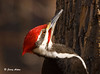 """<div class=""""jaDesc""""> <h4> Male Pileated Woodpecker Close-up - March 24, 2009 </h4> <p> This shot of a male Pileated Woodpecker was made possible by a combination of my tip network (thanks Michelle!) and my new blind.  I was 15 feet away from this guy as he feasted on a suet block.  What a treat it was to be so close to one of these beautiful birds.</p> </div>"""