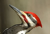 "<div class=""jaDesc""> <h4> Male Pileated Woodpecker - Real Close - March 27, 2009 </h4> <p> This shot was taken from my blind which was about 25 feet from this guy's favorite tree. </p> </div>"