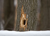 "<div class=""jaDesc""> <h4> Male Pileated Woodpecker Drilling for Ants - January 18, 2009 </h4> <p> When the Pieated Woodpeckers detect the presence of ants in a tree, they go after them very aggressively.  This hole is an example of their persistence.</p> </div>"