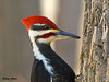 "<div class=""jaDesc""> <h4>Male Pileated Woodpecker Circling Tree Trunk - March 24, 2009 </h4> <p> Here is another close-up of the male Pileated Woodpecker.  He was working his way around a large tree trunk on his way down to a suet block.</p> </div>"