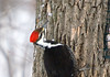 "<div class=""jaDesc""> <h4> Female Pileated Woodpecker Close-up - March 24, 2009 </h4> <p> This female Pileated Woodpecker shot is my first ever.  I teamed up with a friend of a business partner to track the comings and goings of a pair of Pileated Woodpeckers in her backyard.  They regularly visit at precise times: 8 AM, 11 AM, 2 PM, 5 PM.</p> </div>"