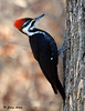 "<div class=""jaDesc""> <h4> Female Pileated Woodpecker - Video Attached -  March 24, 2009</h4> <p> The female woodpecker landed on the tree with a large suet block hanging on it.  Before feeding, she checked all around to make sure the area was clear.  My blind 50 feet away did not bother her.</p> </div> <center> <a href=""http://www.youtube.com/watch?v=k7Q-g9rA-vU"" style=""color: #0AC216"" class=""lightbox""><strong> Play Video</strong></a> </center>"