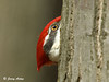 "<div class=""jaDesc""> <h4> Male Pileated Woodpecker Playing Peek-a-Boo - March 27, 2009 </h4> <p> When the male Pileated Woodpecker heard my shutter clicking, he moved around to the back of the tree.  For a minute or so, he would peek around the side to see if there was anything suspicious.  Finally he just ignored the clicking and continued eating suet.</p> </div>"