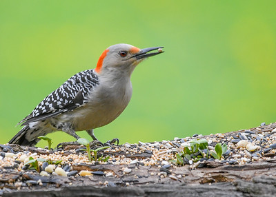 Female Red-bellied Woodpecker with Peanut - May 12, 2018 The female Red-bellied Woodpecker has a gap in the red on her head, unlike the male that has red over the entire top.