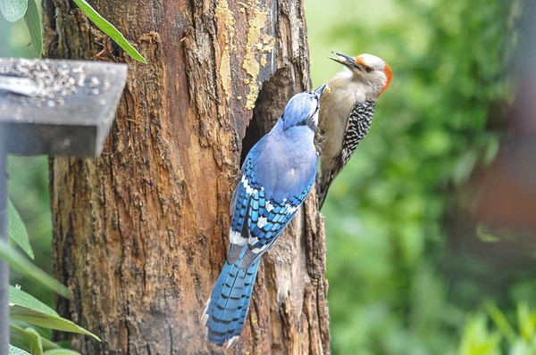 """<div class=""""jaDesc""""> <h4>Female Red-bellied Woodpecker vs Blue Jay - June 6, 2016</h4> <p>A Blue Jay came in to challenge a female Red-bellied Woodpecker at the suet log.  They jousted with their beaks several times to decide who got to stay and eat.</p> </div>"""