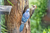 "<div class=""jaDesc""> <h4>Female Red-bellied Woodpecker vs Blue Jay - June 6, 2016</h4> <p>A Blue Jay came in to challenge a female Red-bellied Woodpecker at the suet log.  They jousted with their beaks several times to decide who got to stay and eat.</p> </div>"
