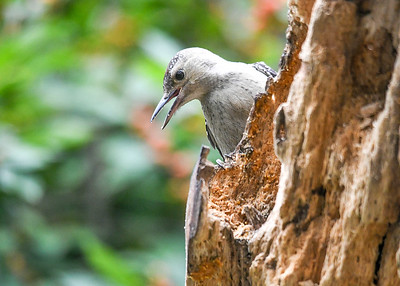 Immature Red-bellied Woodpecker Calling to Be Fed - September 15, 2019