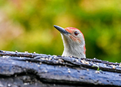 Male Red-bellied Woodpecker Arrives at Feeder Log - August 24, 2018 When he first arrives, he is often mostly hiding behind the log giving him time to check things out.